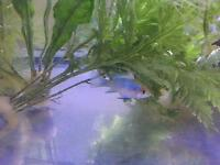 Tropical Fish Community/Cichlids