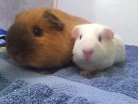 Californian and shorthair male Guinea pigs