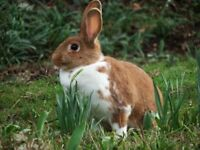 PREMIUM bunny - ginger/white female
