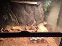 bearded dragon with setup