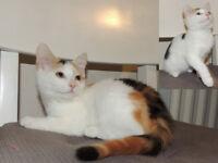 Lovely Sib x BSH kittens