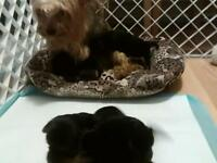 Full pedigree Yorkshire terriers