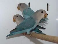 3 baby lovebirds for sale