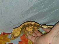 Female Extreme Harly (Halloween) Crested Gecko