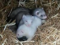 4 female ferret kits.