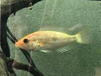 """5-6"""" Bay snook Cichlid Tropical Fish"""