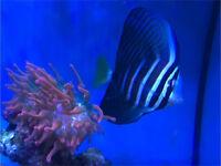 Pacific Sailfin Tang marine tropical reef fish Tank aquarium