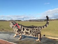 Stunning male Bengal for sale