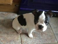 Bost terrier bitch for sale