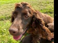 Working Cocker Spaniels for sale
