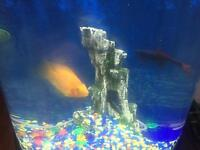Large 6inch parrot fish