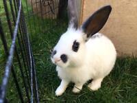 English Spot bunnies