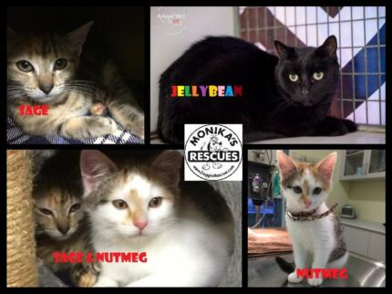 Cats live up to 15 years and more! Adopt an ADULT CAT instead! Ingleside Warringah Area Preview