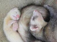 Ferrets for sale!