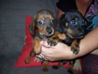 minature dachshund puppies PRA clear READY NOW