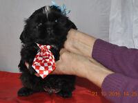 FULL IMPERIAL KC REG SHIH TZU PUP 2 BOYS