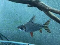 "4-5"" Flagtail Prochilodus tropical fish"