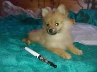 Pomeranian pup bitch 11 week old