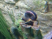 Baby Ramshorn Snails