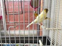 TWO CANARY BIRDS. COMPLETE WITH CAGE ETC
