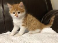 Beautiful Fluffy Ginger Kitten.