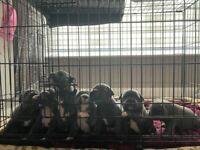 Blue Staffordshire Bull Terrier Pups KC Reg Staffy READY 2 GO