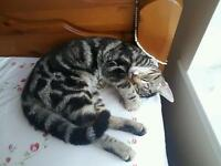 ***Tiger*** 6 month Tabby Cat
