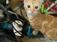Gorgeous, loving ginger male kitten