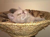 Beautiful gccf British Shorthair Kittens