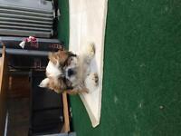 Lhasa apso puppy last boy