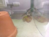 Tropical Fish - Pimelodus pictus (Pictus Catfish) Trio