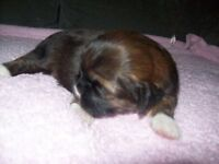 2 girls and 2 boys full pedigree but not kc registered shih tzu puppies