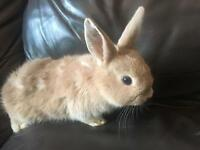 Last baby bunny rabbit left looking for a good home
