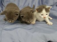 beautiful grey kittens