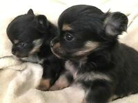 Pure chihuahua puppies