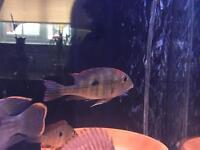 Geophagus Tapajos Red head earth eater approx 3-4""