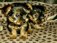 Only one little Yorkie left