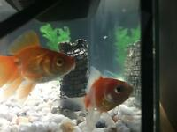 Gold fishes for sale