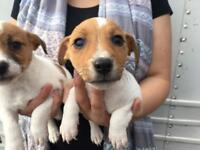3 beautiful jack Russell puppies 2 boys 1 girl