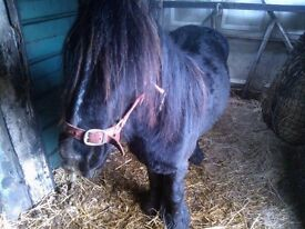 MINI COB STALLION