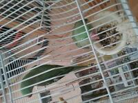2 Alexandrines with big cage