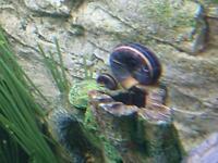Free Colombian Ramshorn snails