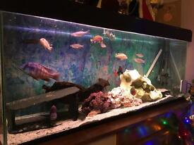 4 foot African cichlids tropical fish tank complete setup with beautiful healthy fish