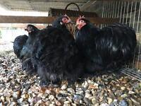 Pekin chicken for sale