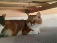 Lost cat - Simba. 5 yrs old, missing since 20/02/2018. Ginger and white domestic shirt hair