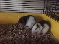 baby bumbo ear rats for sale