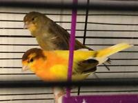 Pair of canary with cage