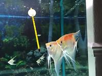 Manacapure red and back angelfish for sale