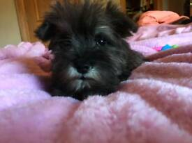 Schnauzer pups for sale