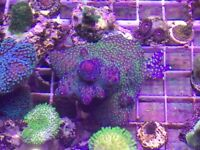Corals and coral frags for sale